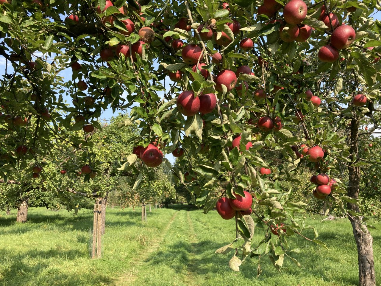 Apfelernte    Foto: Ulrike Zielke